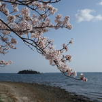 浜名湖と桜2