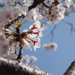 ロードスターRFと浜名湖の桜